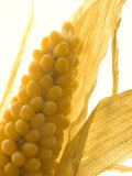 Close-up of an Ear of Corn