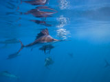 Group Hunting Behavior of Sailfish