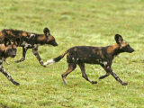 Cape Hunting Dogs  Lycaon Pictus  Trotting