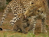 Leopard  Panthera Pardus  Grooming Her Cub