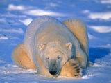 Polar Bear (Ursus Maritimus) Churchill  Manitoba Canada