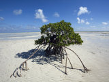 Lone Mangrove Tree on a Sand Spit at Andros Island