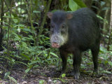 White-Lipped Peccary Standing in Forest