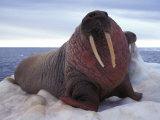 Two Atlantic Walrus Bask on Ice