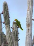 Yellow-Headed Amazon Parrot  Amazona Oratrix  Eating Cactus Pears