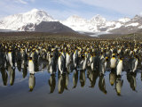King Penguin Rookery Within View of Majestic Snow-Capped Mountains