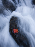 Maple Leaf on Rock in Falls of Mogami River