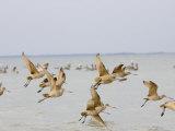 Flock of Sandpipers in Flight