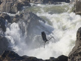 Great Blue Heron Taking Off from Rocks Near Big White Water
