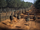 Five Emus Race Along the Dirt Road That Follows the Wire Fence That Stretches 3307 Miles
