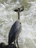 Great Blue Heron Catches a Fish on the Potomac River