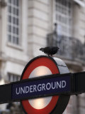 Pigeon Perched on a London Underground Sign