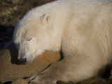 Polar Bear Sleeps on a Rock