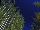 Towering Birch and Poplar Trees Against a Blue Sky