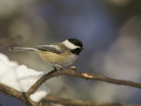 Black-Capped Chickadee on a Branch in the Winter