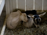Smiling Goat Sleeps on a Companion's Shoulder at the Fairgrounds