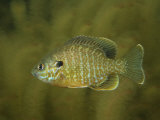 Pumkinseed Sunfish  Lepomis Gibbosus  in a Clear Mountain Pond