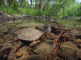Wood Turtle  Clemys Insculpta  Forages for Food in a Mountain Stream