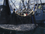 Fishing Boat with a Large Haul of Herring in it&#39;s Nets