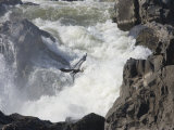 Great Blue Heron Flies over the White Water at Great Falls Park