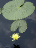 Yellow Water Lily and Pads at Longwood Gardens