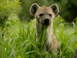 Spotted Hyena (Crocuta Crocuta)Portrait