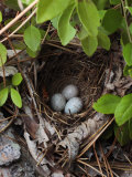 Towhee Nest with 3 Eggs in It Towhees are Ground Nesting Birds