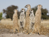 Meerkats on the Edge of the Makgadikgadi Pans