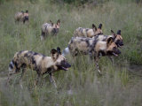 Pack of Wild Cape Hunting Dogs in Tall Grass