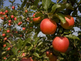 Apple Tree Heavy with Fresh Ripe Red Apples