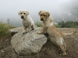 Pair of Labrador Puppies on Top of a Rock in Morning Fog