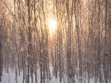 Line of Larch Trees at Sunset in a Snow Shower