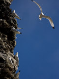Kittiwakes Perch on a Cliff Side