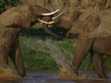 Pair of Elephants Playing in a River in Samburu National Reserve