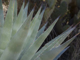 Agave Plant in the Foothills Near Cave Creek