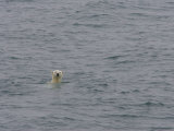 Polar Bear Swimming in Cold Arctic Waters