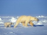 Polar Bear  Ursus Maritimus  and Her Two Young Cubs on the Sea Ice
