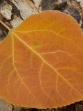 Close-up of Orange Quaking Aspen Leaf Laying on an Old Log in the Fall