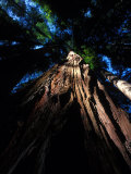 Looking Up at a Sierra Redwood Tree