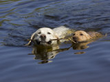 Adult and Puppy Labradors Playing Fetch with a Stick in the Water