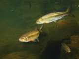 River Chubs and Blue Gill Forage for Food in a Clear Mountain Stream