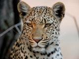 Close Portrait of a Leopard  Panthera Pardus