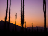 Boojum Trees  Cirio Columnaris  in a Desert Landscape at Sunset