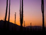 Boojum Trees  Cirio Columnaris  in a Desert Landscape at Sunset