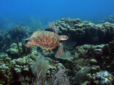 Endangerd Green Sea Turtle  Chelonia Mydas  Swimming in a Coral Reef