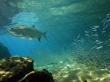 Tarpon  Megalops Atlanticus  Hunting for Prey Near Reef Silversides
