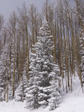 Fresh Snow Tops the Trees in Santa Fe National Forest During Winter