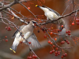 Two Cedar Waxwings  Bombycilla Cedrorum  Eating Crab Apples