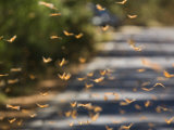 Monarch Butterflies Fly to Water in the Piedra Herrada Sanctuary