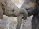 Elephant Calves at Play in Samburu National Park